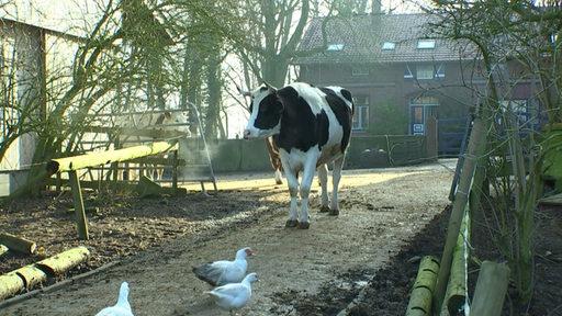 Kuh auf dem Hof Butenland