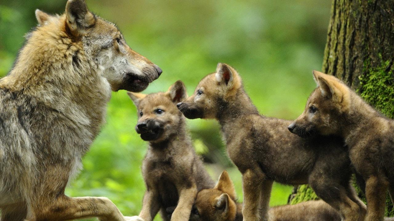 Darauf müssen Spaziergänger in der Welpenzeit der Wölfe achten