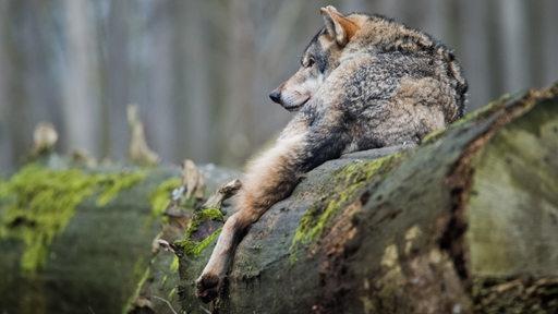 Ein Europäischer Wolf liegt in einem Gehege im Wisentgehege auf einem Baumstamm.