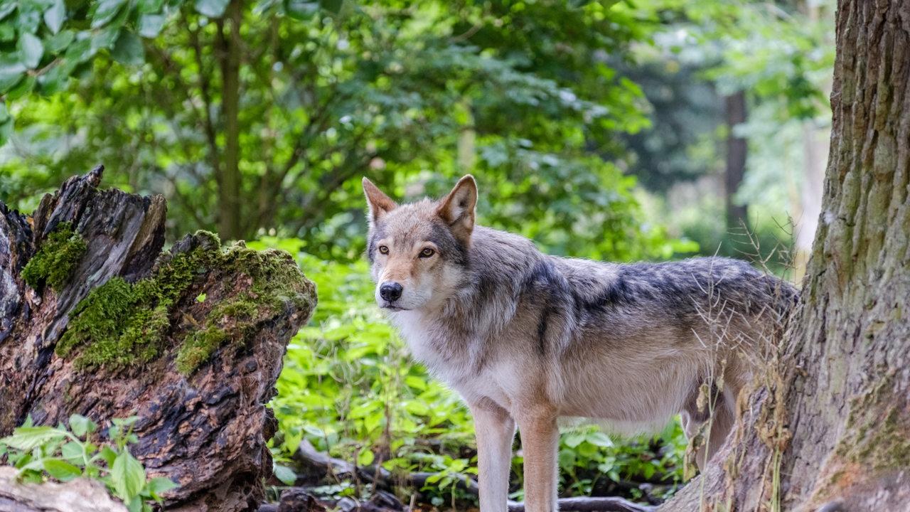 Mehr Wölfe in Niedersachsen – jetzt soll das Jagdrecht geändert werden