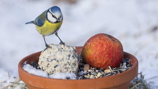Eine Meise sitzt in eingeschneiter Umgebung auf einem Futterknödel.