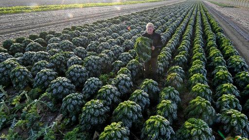 Thore Buchholz, Lehrling im landwirtschaftlichen Betrieb Wegener, erntet auf einem Feld Grünkohl nach den ersten Frostnächten.