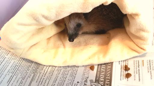 Ein Igel ist in eine Decke gewickelt.