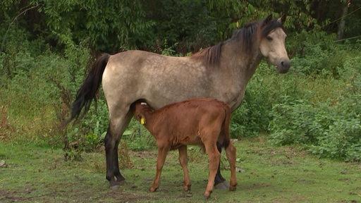 Ein Kalb wird von einem Pony gesäugt.