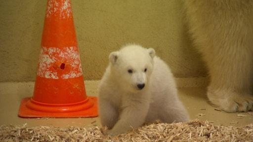 Zu sehen ist ein Eisbärbaby bei seiner Mutter, neben einem orangenen Kegel.