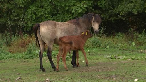 Ein Pony und ein Kalb stehen eng beieinander.