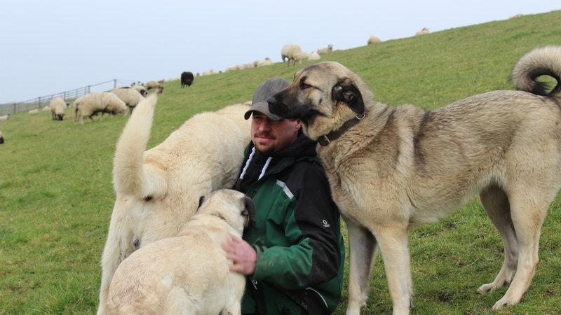 Berühmt Kangals: Diese Hunde beschützen Schafe vor dem Wolf - buten un binnen &RM_66